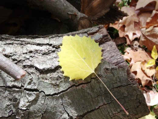 The light lemon yellow of this Big Tooth Aspen leaf looks like a drop of sunshine!