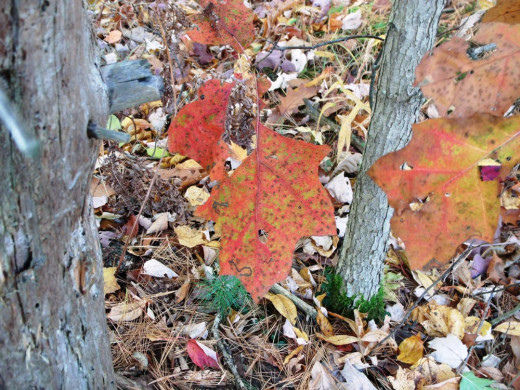 Orange coats these Oak leaves.