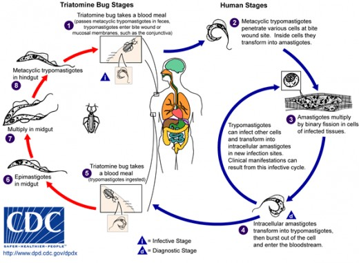 Life Cycle of the Kissing Bug