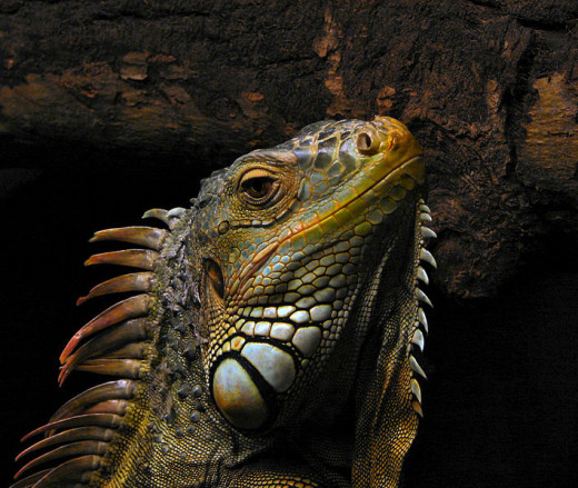 Green Iguana in this photo.