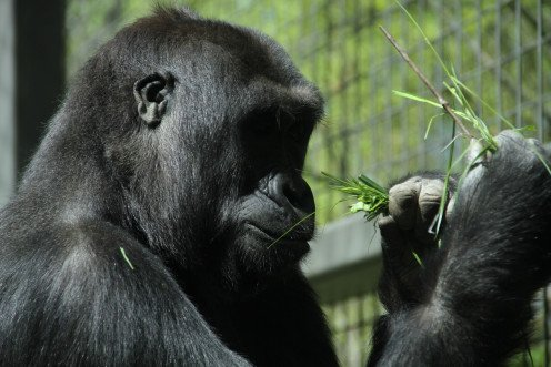 Lowland gorilla at the Columbus Zoo.