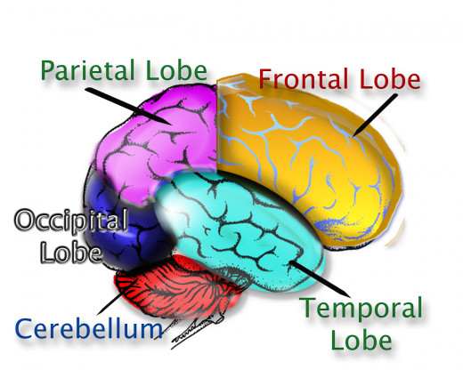 an analysis of the functions of the four major lobes of the brain Human brain showing the four major lobes of the cerebrum beneath the cerebral cortex are the cerebellum, pons, olive, and medulla oblongata drawing to illustrate the relations of the brain to the skull.