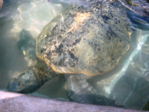 Oldest turtle on the farm. Quite shy.