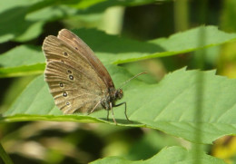 Ringlet butterfly at Salthill