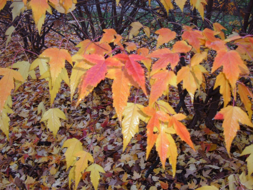 Red, yellow maple leaves stand out against the dark brown tree trunk.