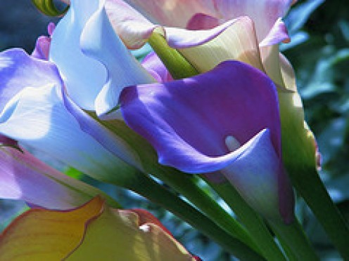 Cam anju on hubpages for Calla lily flower meaning