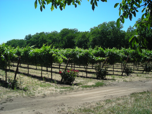 THE MONKS' VINEYARD