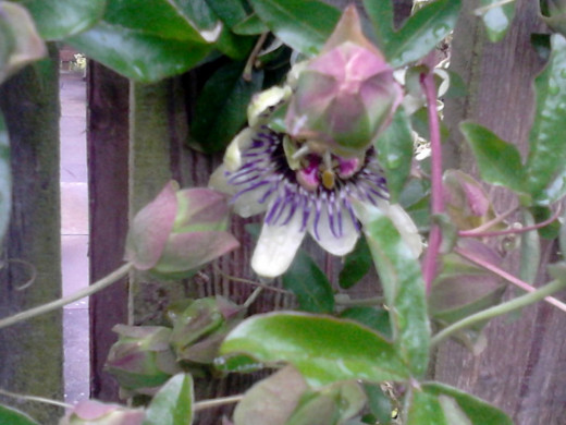 Passion Flower.
