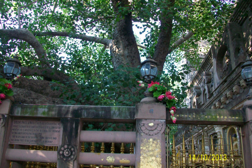 The MAHABODHI Tree--The widespread branches