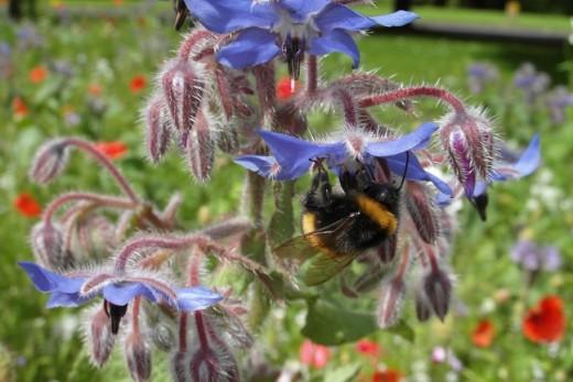 Buff tailed bumble bee on borage