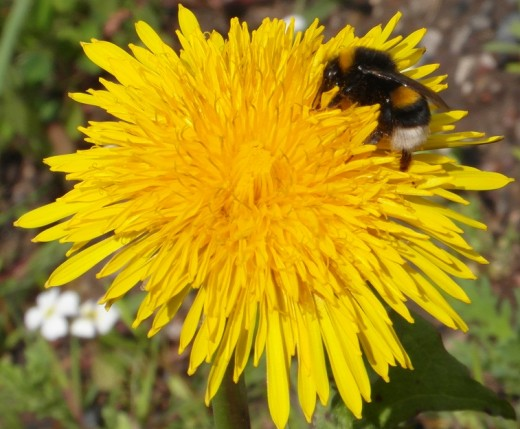 White tailed bumble bee on dandelion
