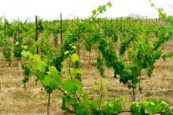 Oregon Wine-Lets wine at the Swine!