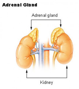 The primary function of the adrenal glands is to release stress hormones