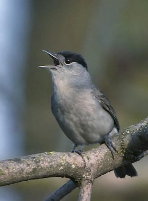 Male Blackcap bird ( Sylvia atricapilla )