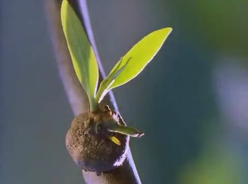 Primary leaves of mistletoe