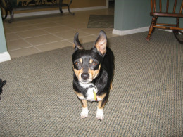 Lou Is he a chiweenie?