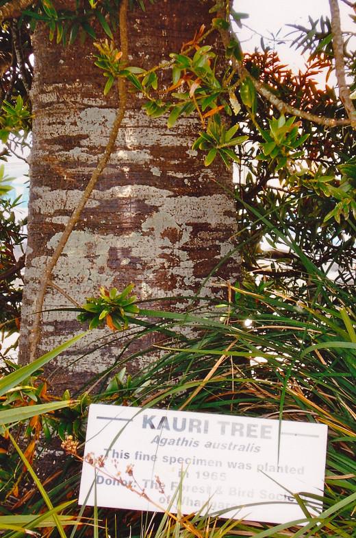 Already this Kauri tree has a Wide Girth