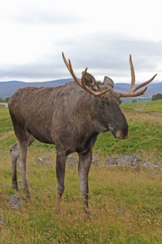 An antlered elk grazing in the pasture.