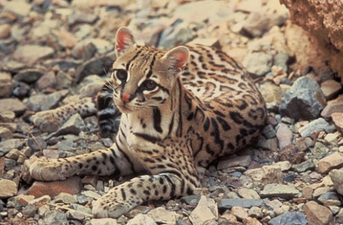 The ocelot is sometimes called the painted leopard.