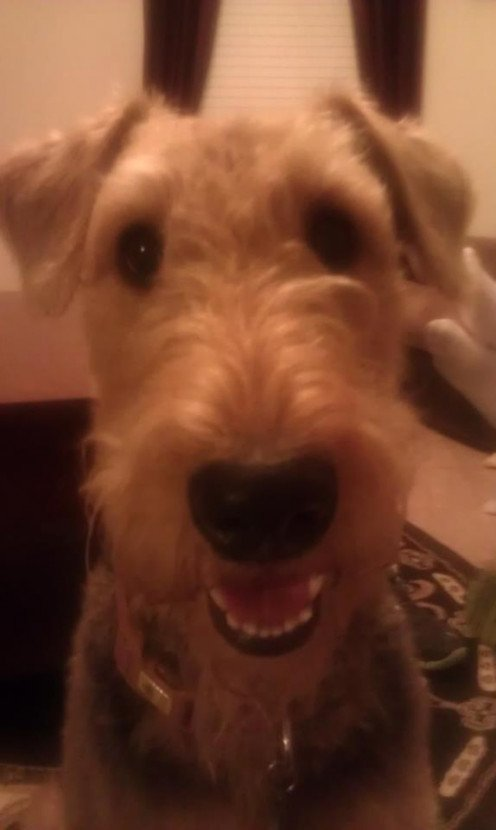 Airedale Terriers are very happy dogs.