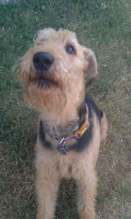 Airedale Terriers are very vocal