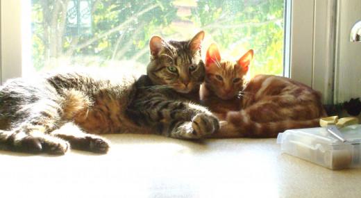 A gray tabby and an orange tabby snuggle in a sunny window.