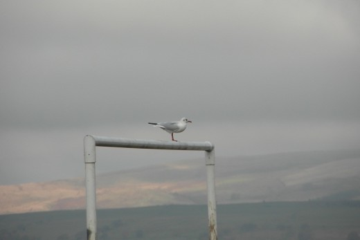 with zoom - you can clearly see the gull on the goal posts.