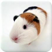 guineapigmanual profile image