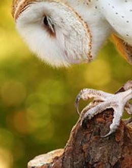 Detail of owl talon.