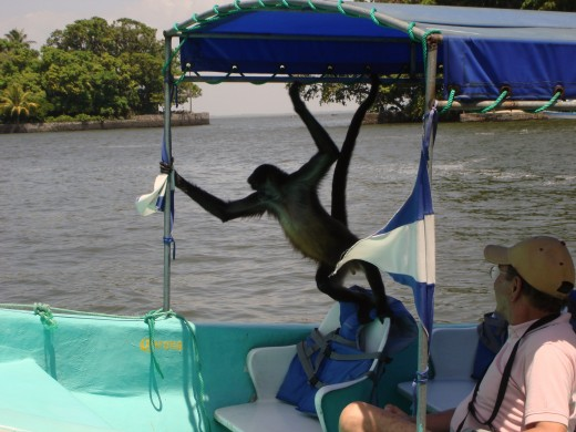 Luci, the spider monkey, boarding a boat that got too close to Monkey Island.  It took a while for them to get Luci off the boat.