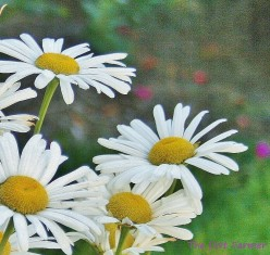 Nippon daisy is another common name for Nipponanthemum nipponicum.
