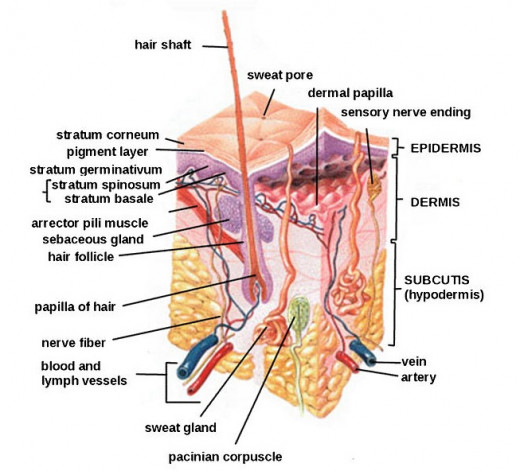 The skin, or integumentary system,  is the largest organ in the body.  It contains millions of pores to release waste gases and sweat glands to regulate body temperature.