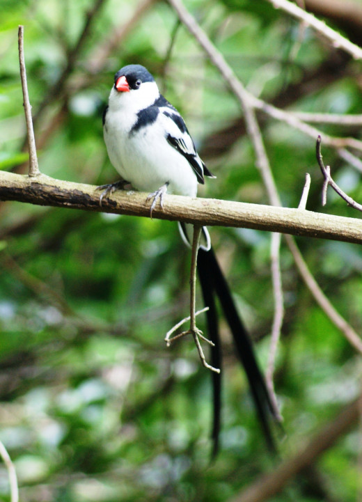 Very bossy Pin-tailed Whydah