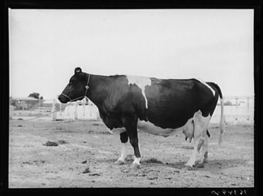 A nice, healthy cow