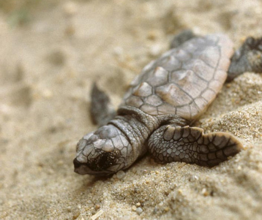Loggerhead sea turtle hatchling - one of the cuter victims of light pollution