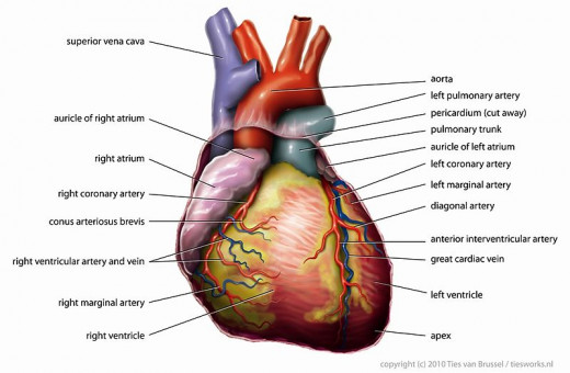 Anatomy of the human heart