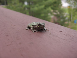 The Facts About Gray Tree Frogs