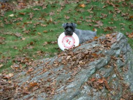 Fritz gets his exercise by playing frisbee with our family.