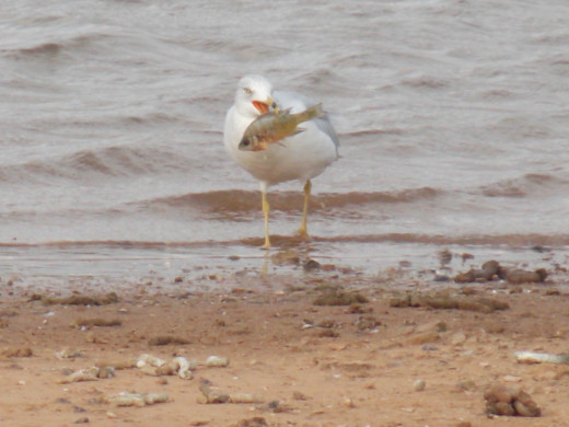 Ring-Billed Gull with his fish