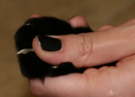 Squeeze gently on the paw to expose the claws.