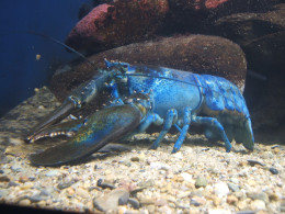 Lobsters are showing up in many colors.