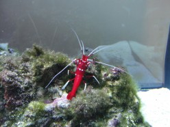 Before Buying A Fire Shrimp (Blood Shrimp, Lysmata Debelius)