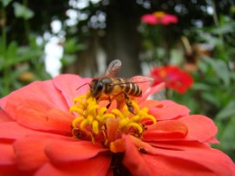 Close up shot of a busy bee stealing honey from a sleeping flower... (taken at a couple of feet away with a Sony DSC-H50)