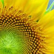 helianthus profile image