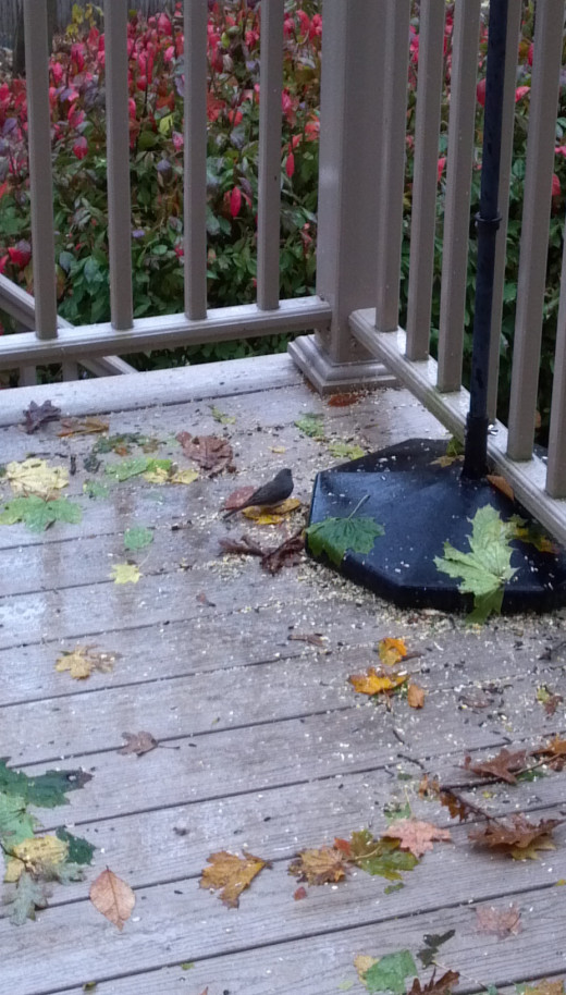 A lone junco, the first to arrive in 2012, feeds off of our deck during Hurricane Sandy.