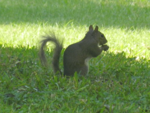 Southern Gray Squirrel