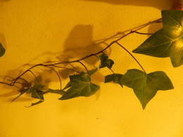 English ivy under a high-pressure sodium grow lamp.