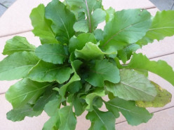 How to Grow Organic Arugula