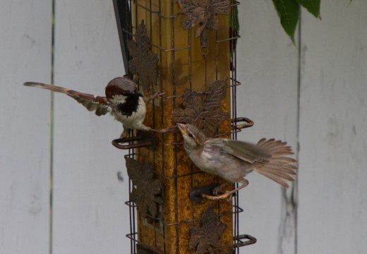 Sparrows sparring.  Photo by Chris Waits, Attribution 2.0