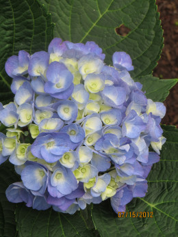 Hydrangea starting to bloom